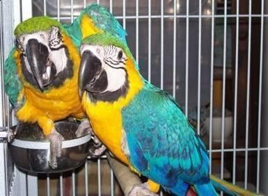 parrots and fertile parrot eggs for sale (267) 368